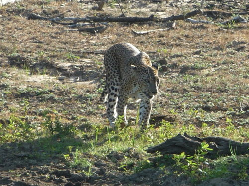 Leopard à Ida Walaxe