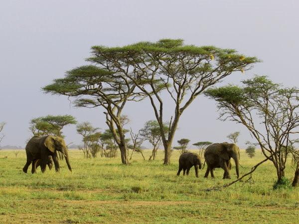 Jour4-Serengeti. Photo prise dans le parc du serengeti. Nous y voyons des éléphants et des arbres verts