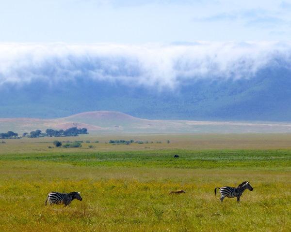 Jour8-Ngorongoro. Photo de zèbres dans la prairie verdoyante du cratère de Ngorongoro